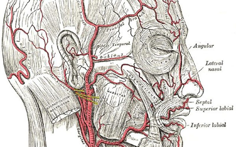 Branches Of Facial Artery Facial Artery | Radiology Reference Article | Radiopaedia  - EDUCATIONS OF HUMAN ANATOMY